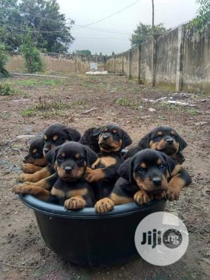 1-3 Month Male Purebred Rottweiler   Dogs & Puppies for sale in Delta State, Warri