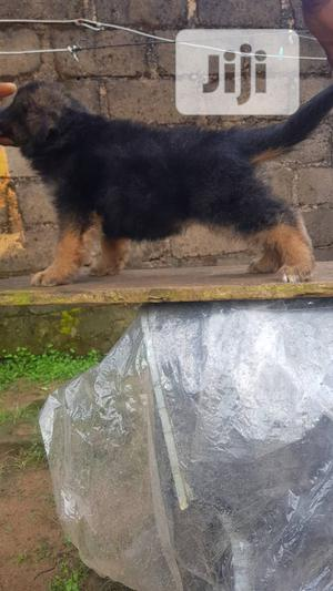 1-3 month Female Purebred German Shepherd | Dogs & Puppies for sale in Delta State, Warri