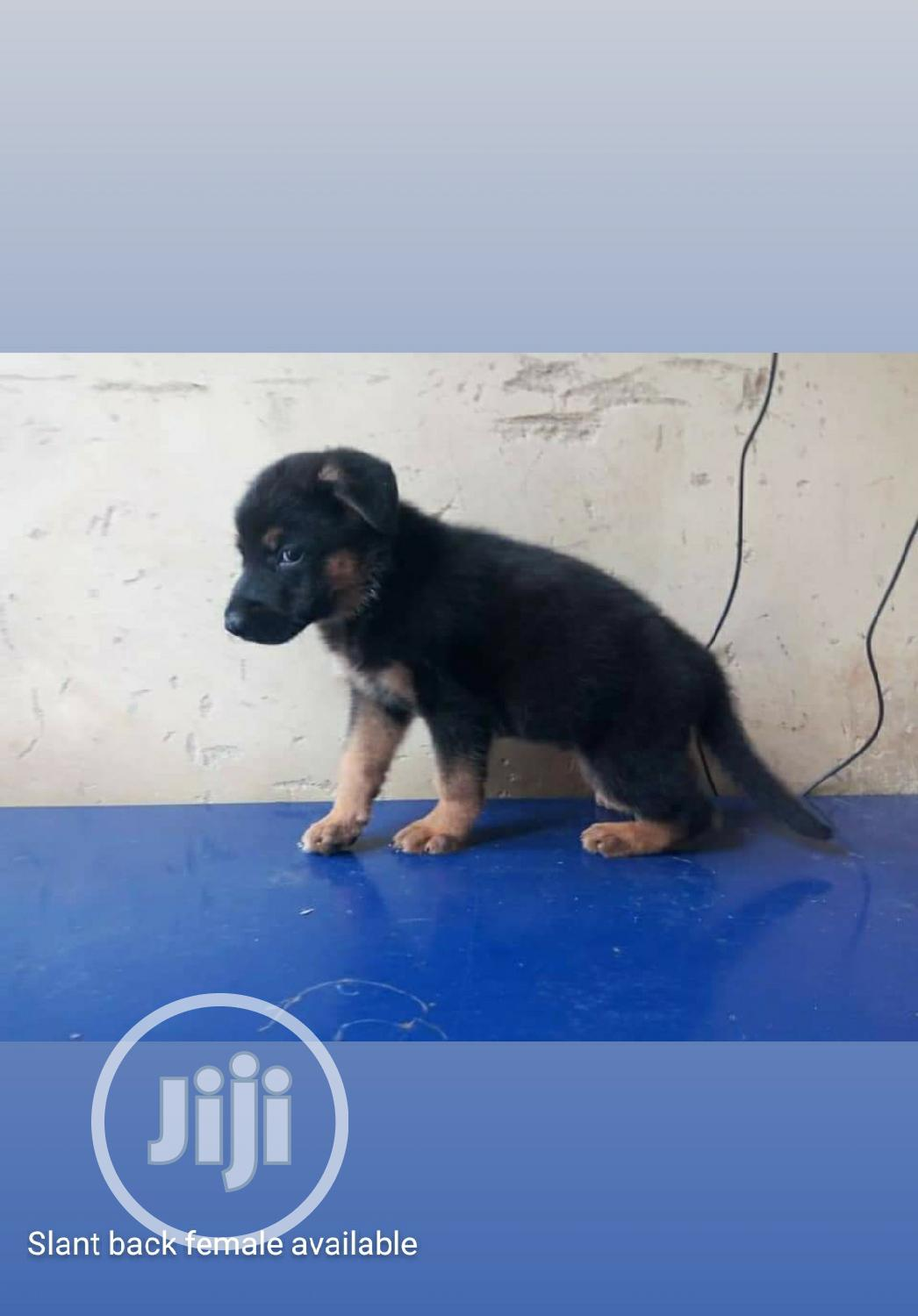 1-3 month Female Purebred German Shepherd