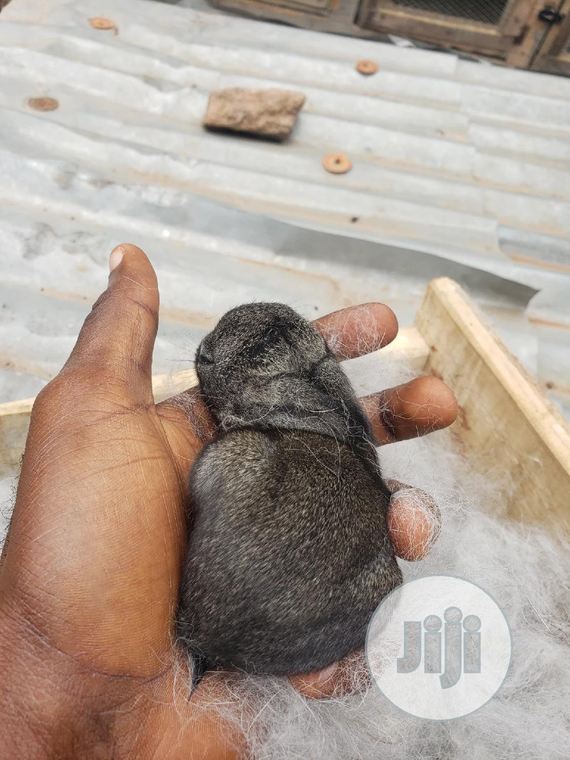 Archive: Dutch Rabbit Litters, Bunnies For Booking