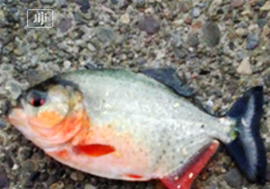 Pinraha Aquarium Fish