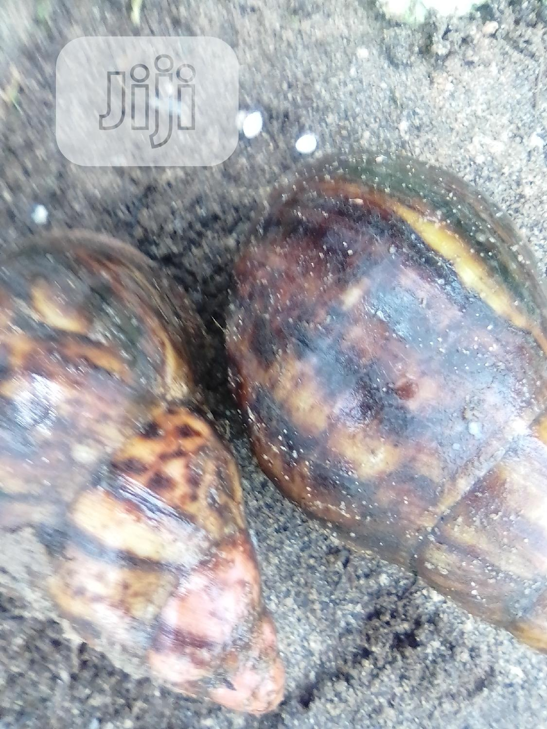 Growers Snail For Sales
