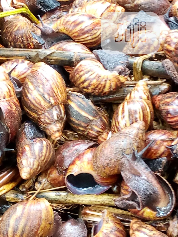 Archive: Snails (Pols) For Sale