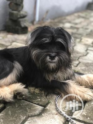 1+ Year Male Mixed Breed Lhasa Apso | Dogs & Puppies for sale in Lagos State, Ibeju