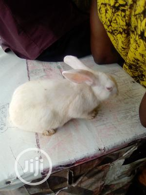 Pure White Rabbit For Sale   Livestock & Poultry for sale in Lagos State, Kosofe