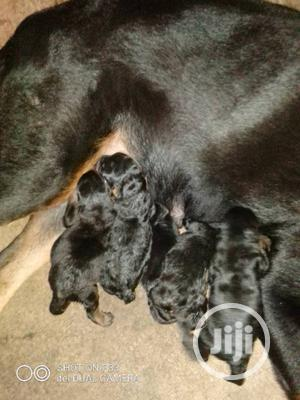 1-3 Month Female Purebred Rottweiler   Dogs & Puppies for sale in Oyo State, Ibadan