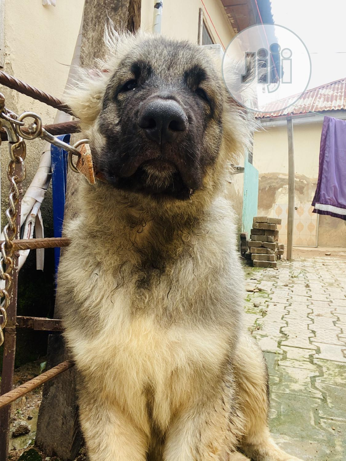 Archive: Young Male Purebred Caucasian Shepherd