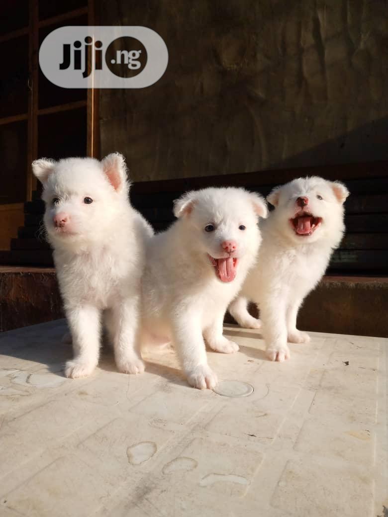 1-3 Month Female Purebred American Eskimo | Dogs & Puppies for sale in Agege, Lagos State, Nigeria