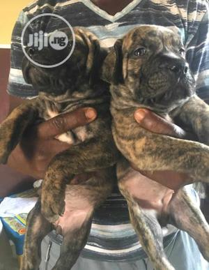 Young Female Purebred Boerboel | Dogs & Puppies for sale in Oyo State, Akinyele