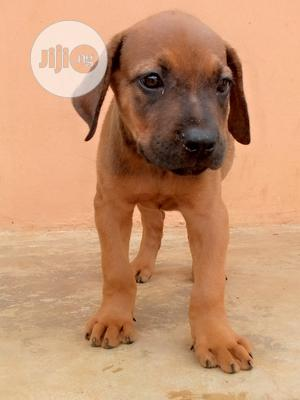 1-3 Month Male Purebred Boerboel   Dogs & Puppies for sale in Lagos State, Alimosho