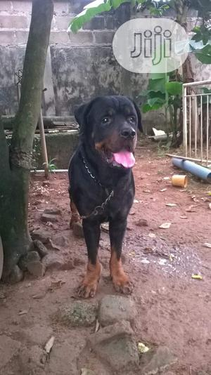 Adult Male Purebred Rottweiler | Dogs & Puppies for sale in Lagos State, Alimosho