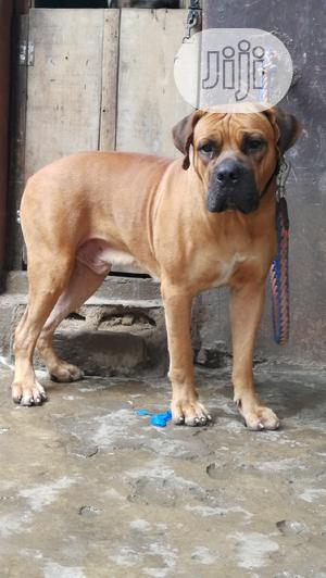1+ Year Male Purebred Boerboel | Dogs & Puppies for sale in Lagos State, Shomolu