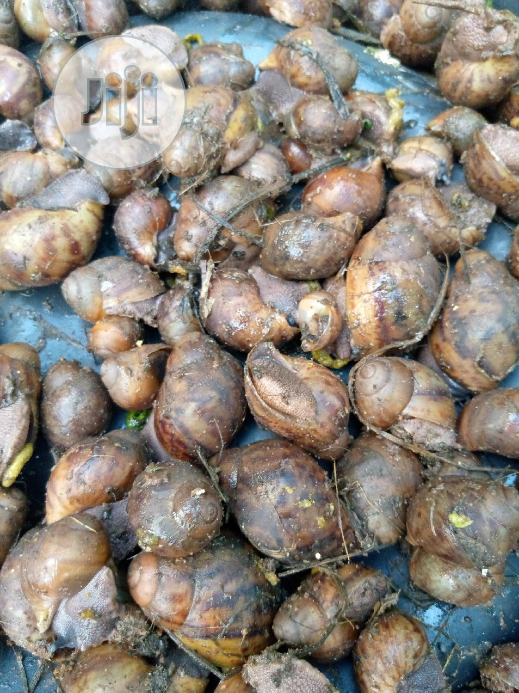 Juvenils Snails