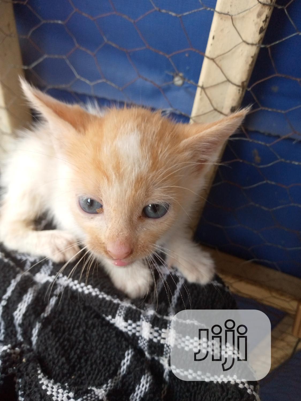 Baby Female Purebred Cat