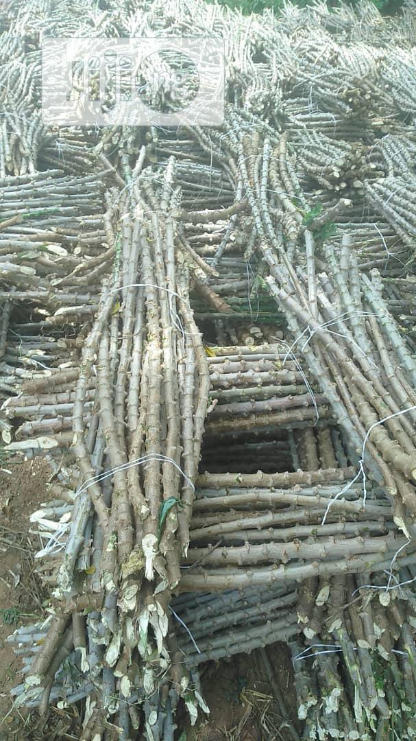 Archive: Cassava Stem