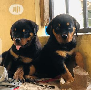 Young Female Purebred Rottweiler   Dogs & Puppies for sale in Lagos State, Surulere