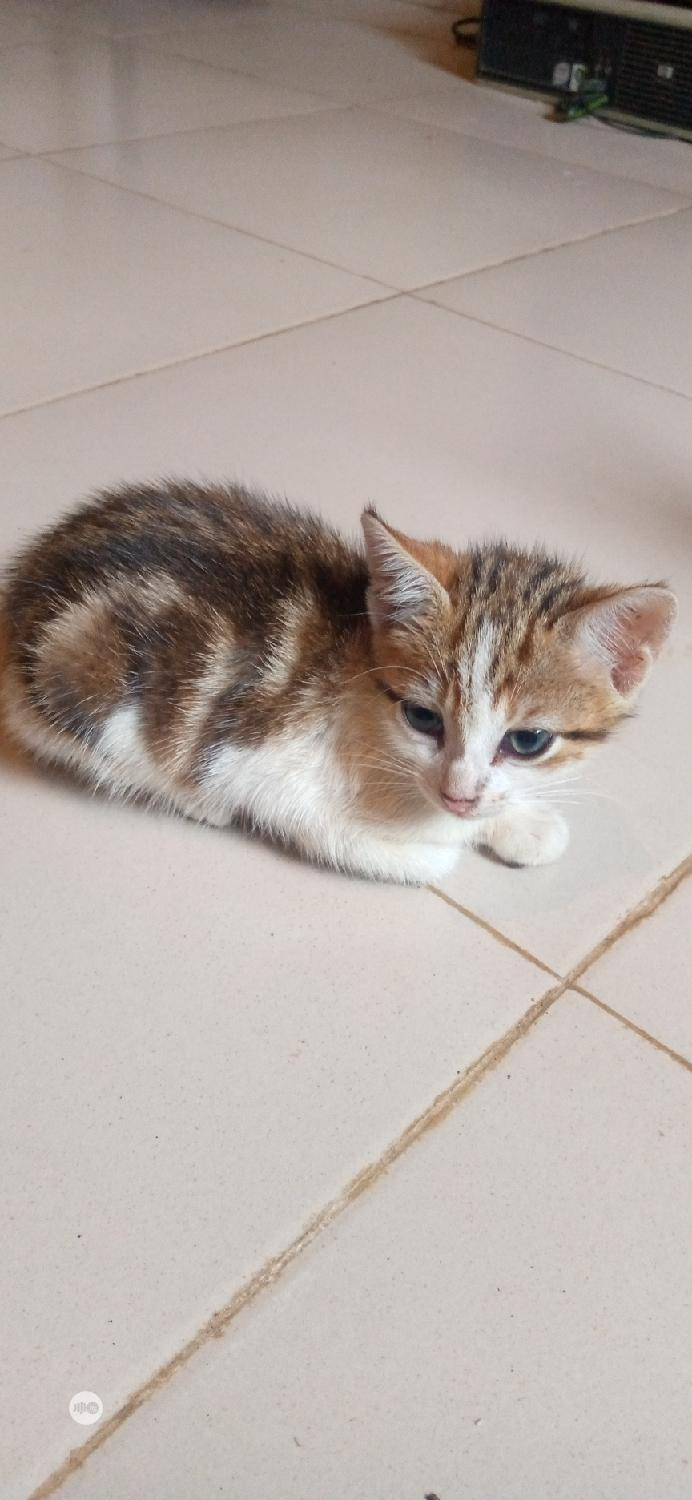 Young Female Purebred Siberian | Cats & Kittens for sale in Ikorodu, Lagos State, Nigeria