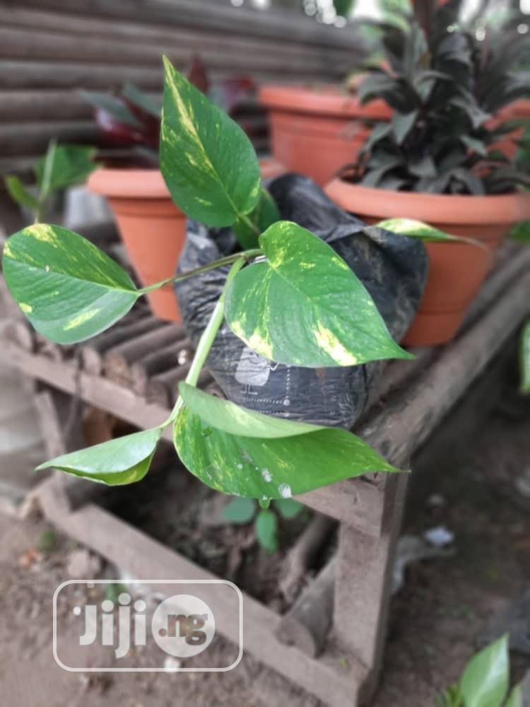 Indoor Plants (Natural Plants)   Garden for sale in Ojo, Lagos State, Nigeria