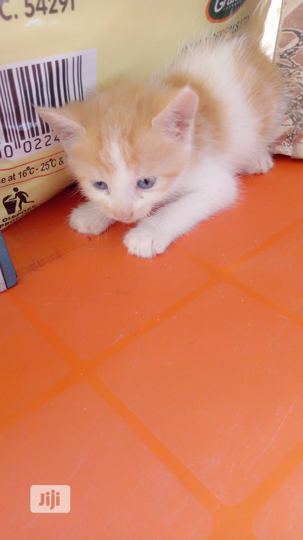 Baby Female Mixed Breed Cat