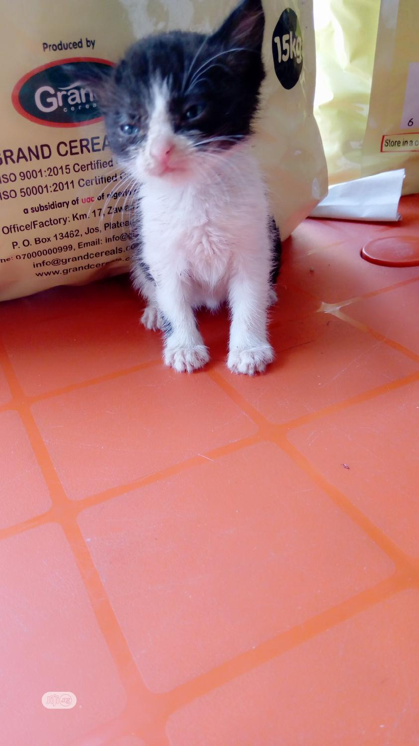 Baby Male Mixed Breed Cat