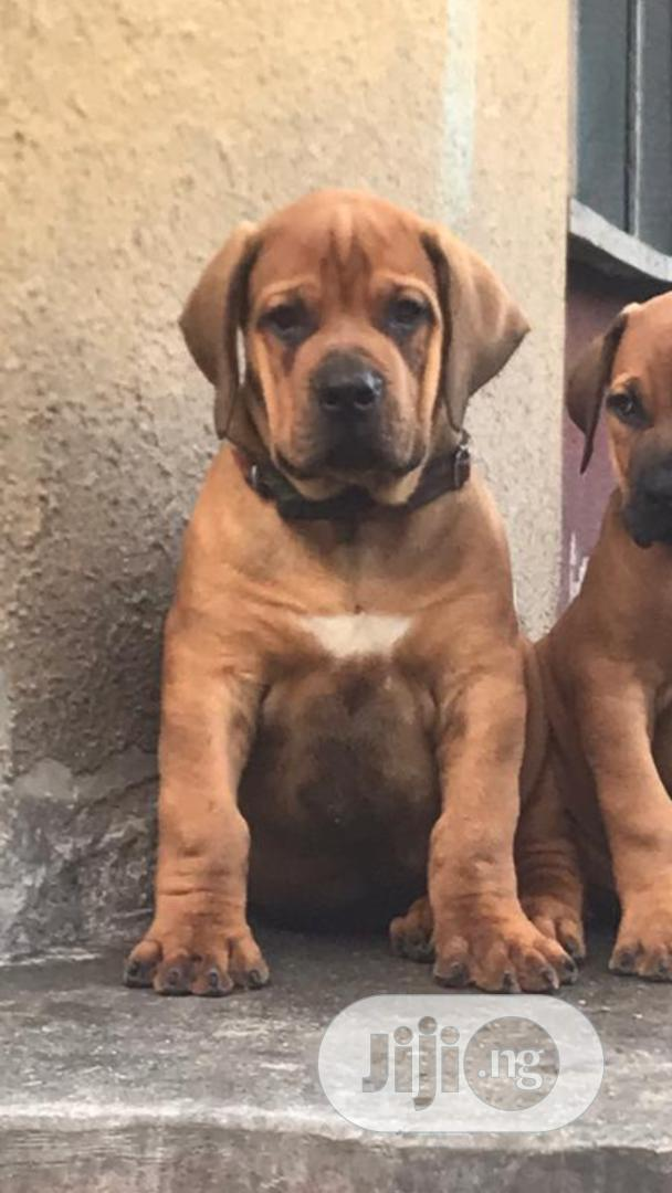 Baby Male Purebred Boerboel   Dogs & Puppies for sale in Ipaja, Lagos State, Nigeria