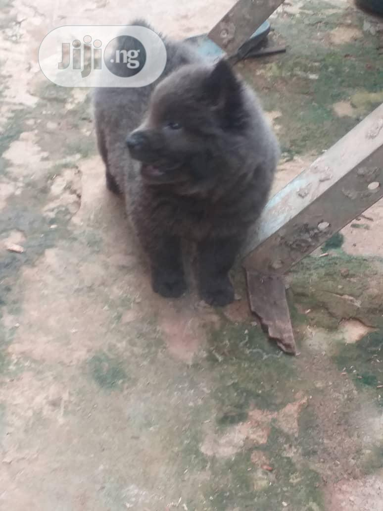 Baby Male Purebred Chow Chow | Dogs & Puppies for sale in Ifako-Ijaiye, Lagos State, Nigeria