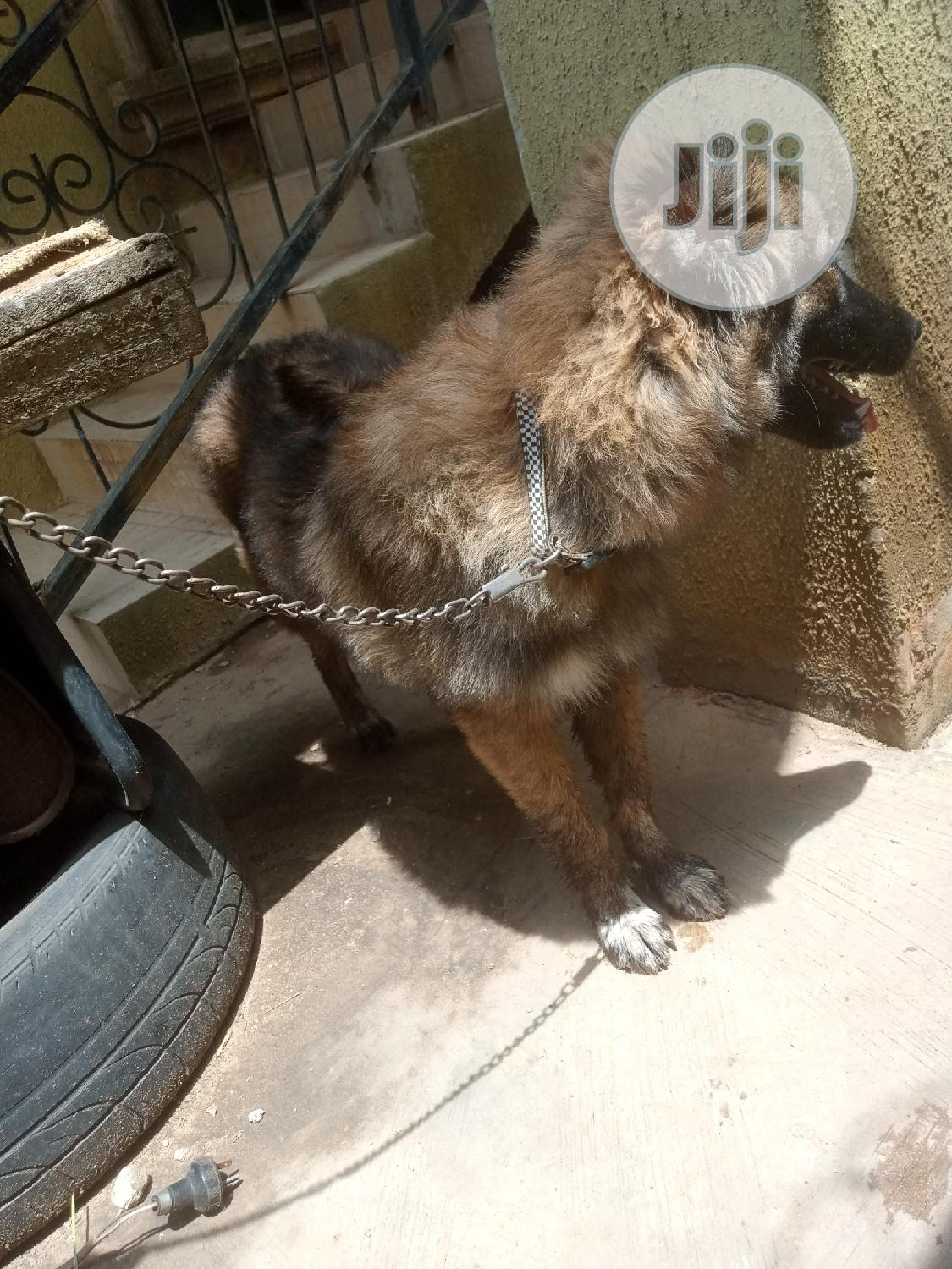 Young Male Purebred Caucasian Shepherd   Dogs & Puppies for sale in Ikotun/Igando, Lagos State, Nigeria
