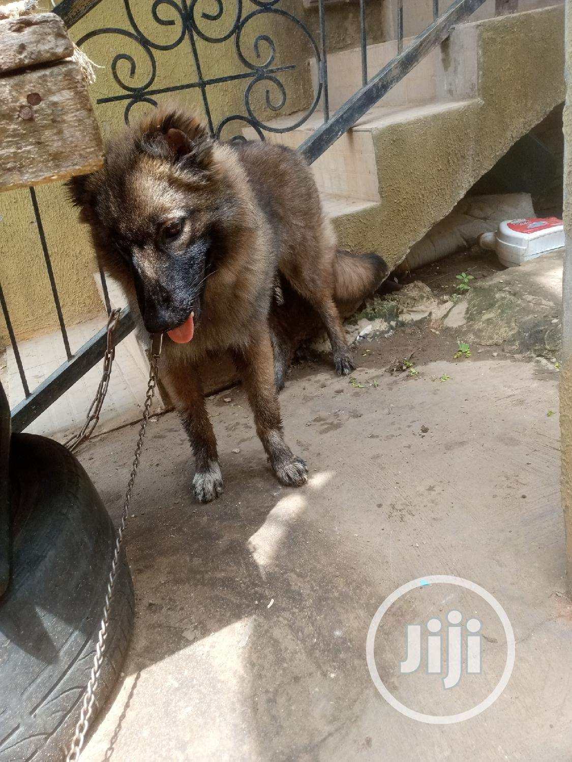 Baby Male Purebred Caucasian Shepherd | Dogs & Puppies for sale in Lekki, Lagos State, Nigeria