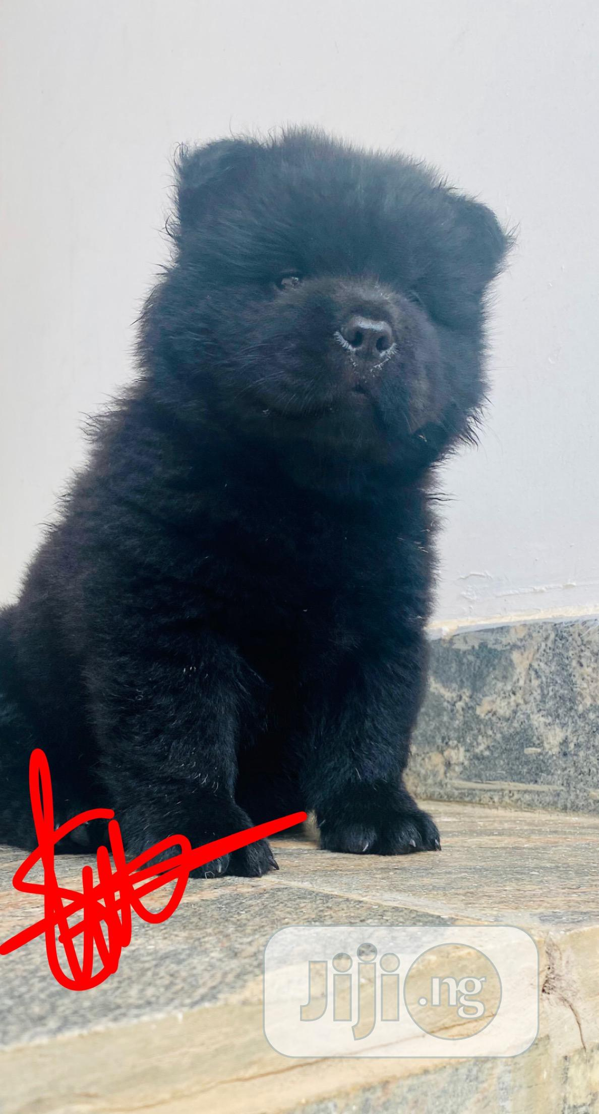Archive: Baby Female Purebred Chow Chow