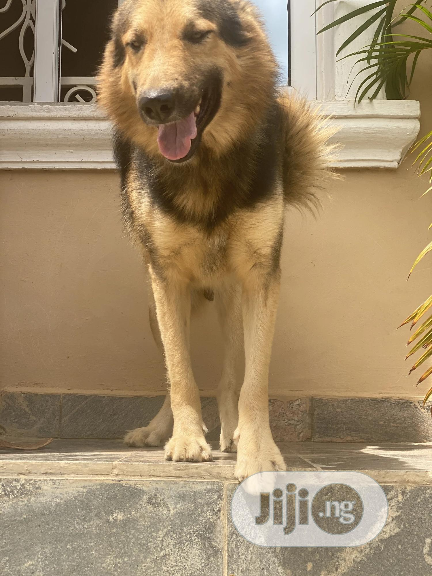 1+ Year Male Mixed Breed Caucasian Shepherd | Dogs & Puppies for sale in Apo District, Abuja (FCT) State, Nigeria