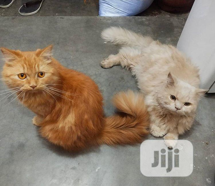 Senior Male Purebred Exotic | Cats & Kittens for sale in Fagge, Kano State, Nigeria