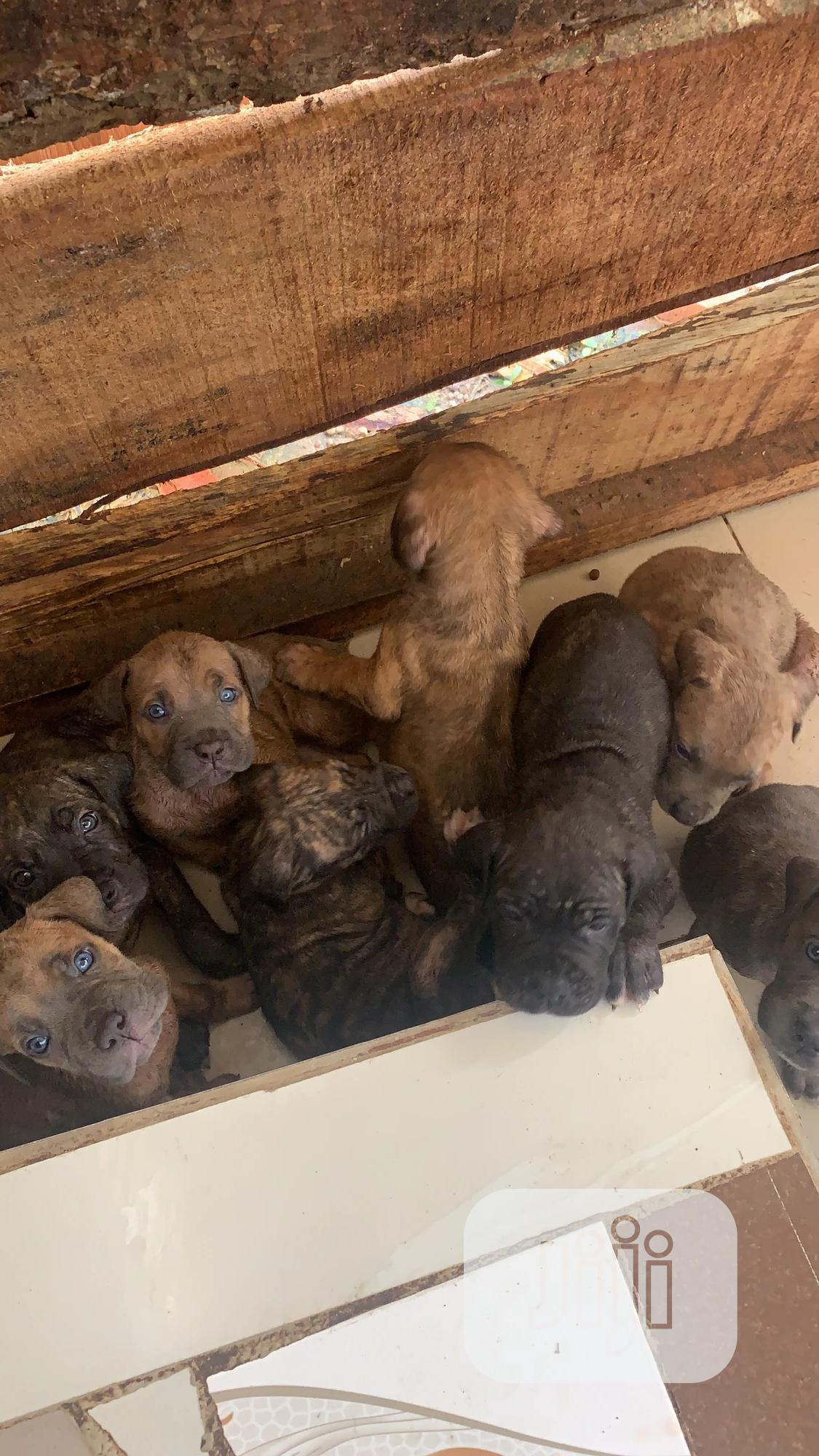 Baby Female Purebred Boerboel | Dogs & Puppies for sale in Akure, Ondo State, Nigeria
