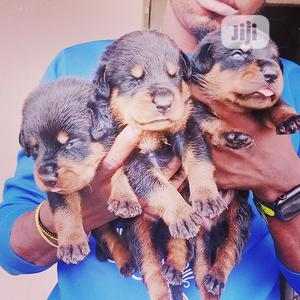 0-1 month Male Purebred Rottweiler   Dogs & Puppies for sale in Ekiti State, Ilawe