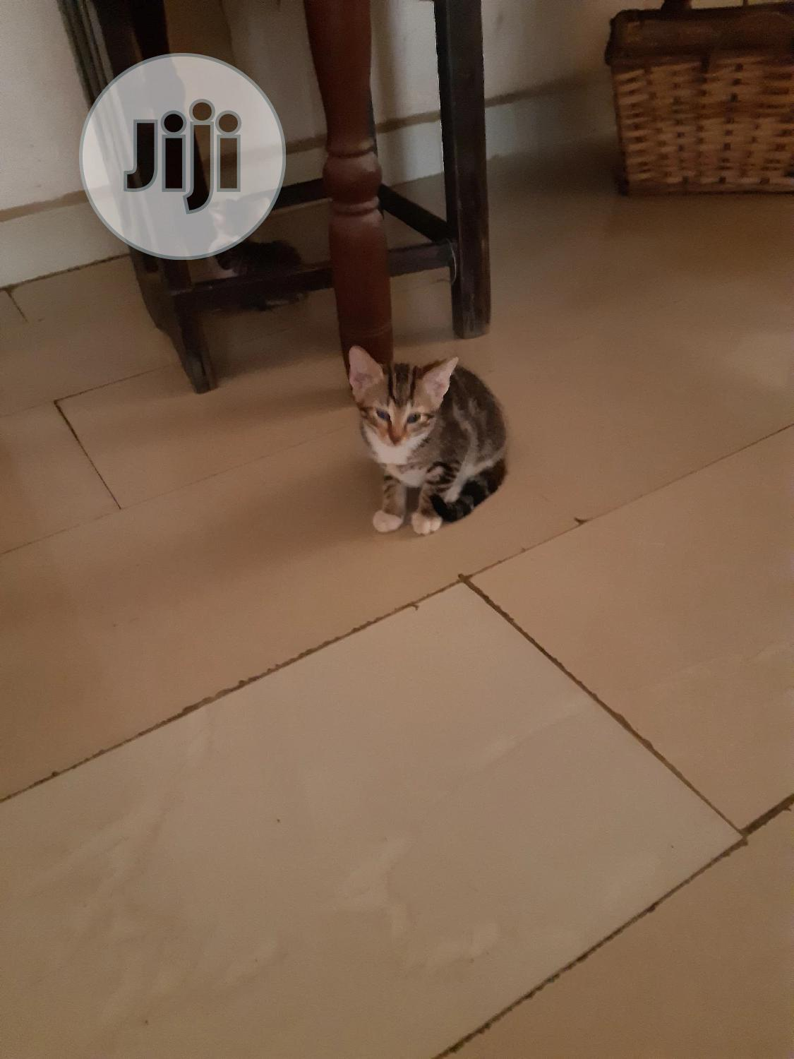 Baby Male Purebred American Shorthair