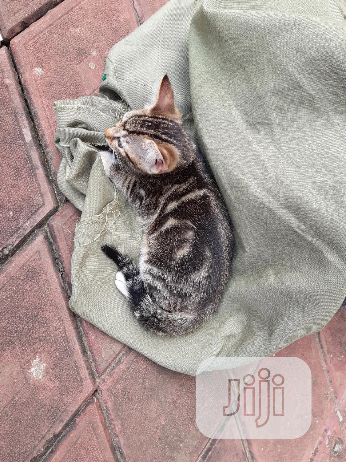 Baby Male Purebred American Shorthair | Cats & Kittens for sale in Ikorodu, Lagos State, Nigeria