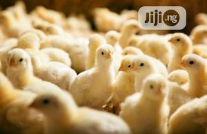 Day Old Chick   Livestock & Poultry for sale in Oyo State, Ibadan