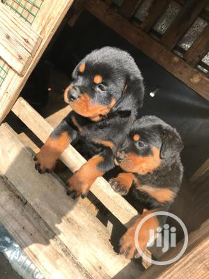 Baby Female Purebred Rottweiler | Dogs & Puppies for sale in Lagos State, Lekki