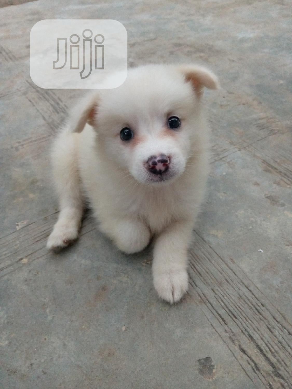 Baby Male Purebred American Eskimo | Dogs & Puppies for sale in Isolo, Lagos State, Nigeria