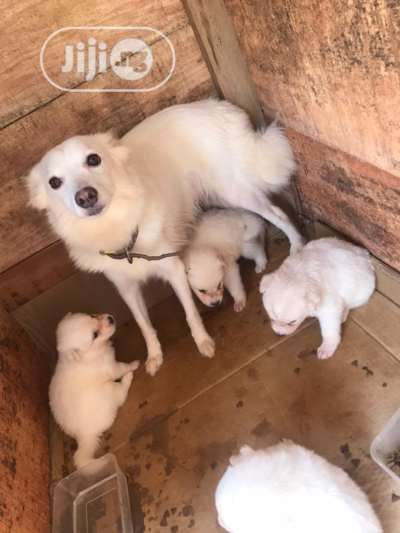 1-3 Month Female Purebred American Eskimo | Dogs & Puppies for sale in Ado Ekiti, Ekiti State, Nigeria
