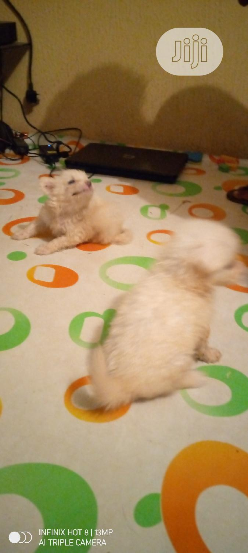 1-3 Month Female Purebred American Eskimo | Dogs & Puppies for sale in Ilorin South, Kwara State, Nigeria