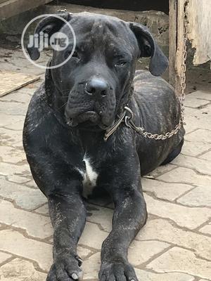 Senior Male Purebred Boerboel | Dogs & Puppies for sale in Lagos State, Amuwo-Odofin