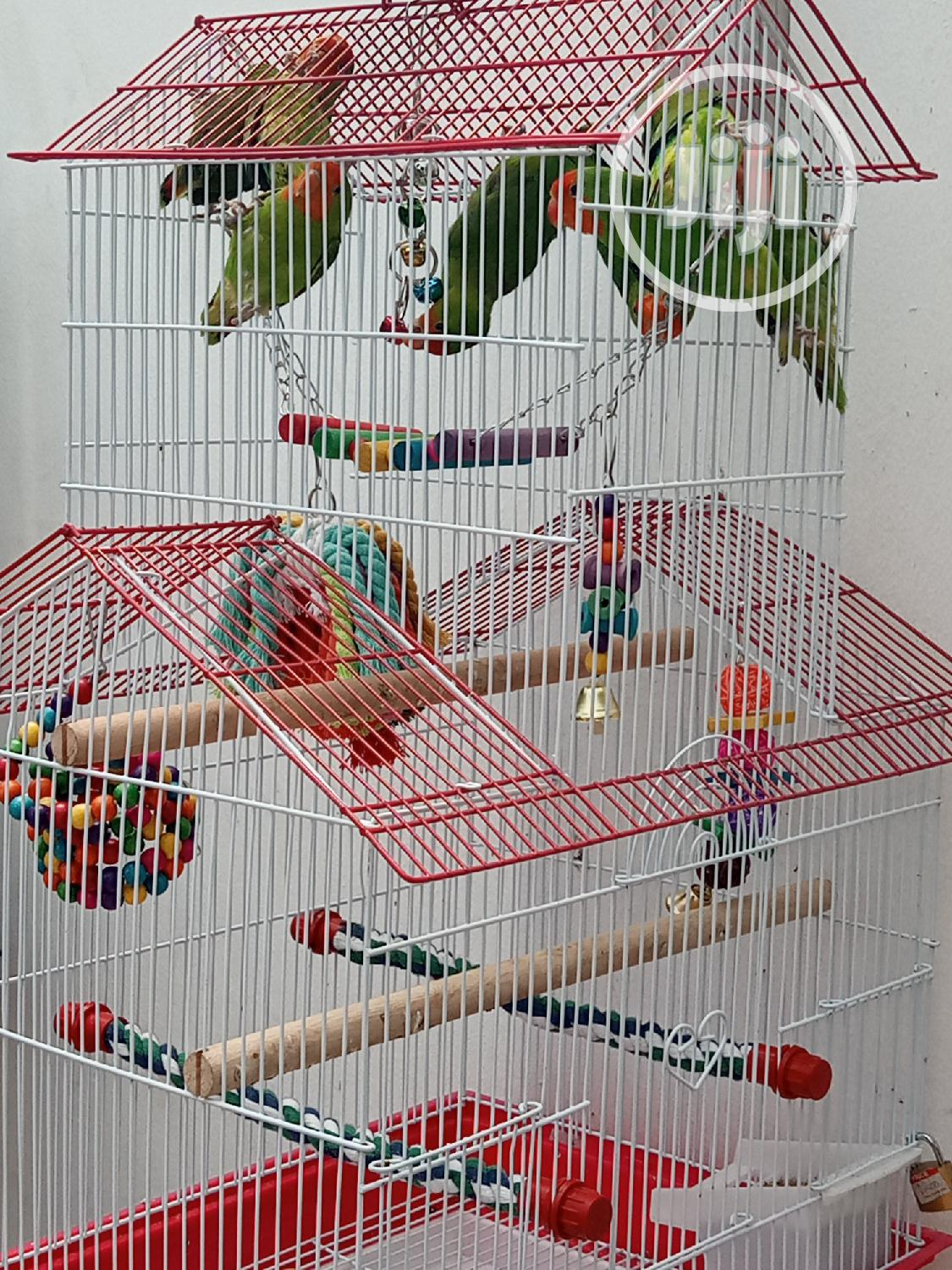Well Healthy Lovely Colorful Birds Is Available For Sales