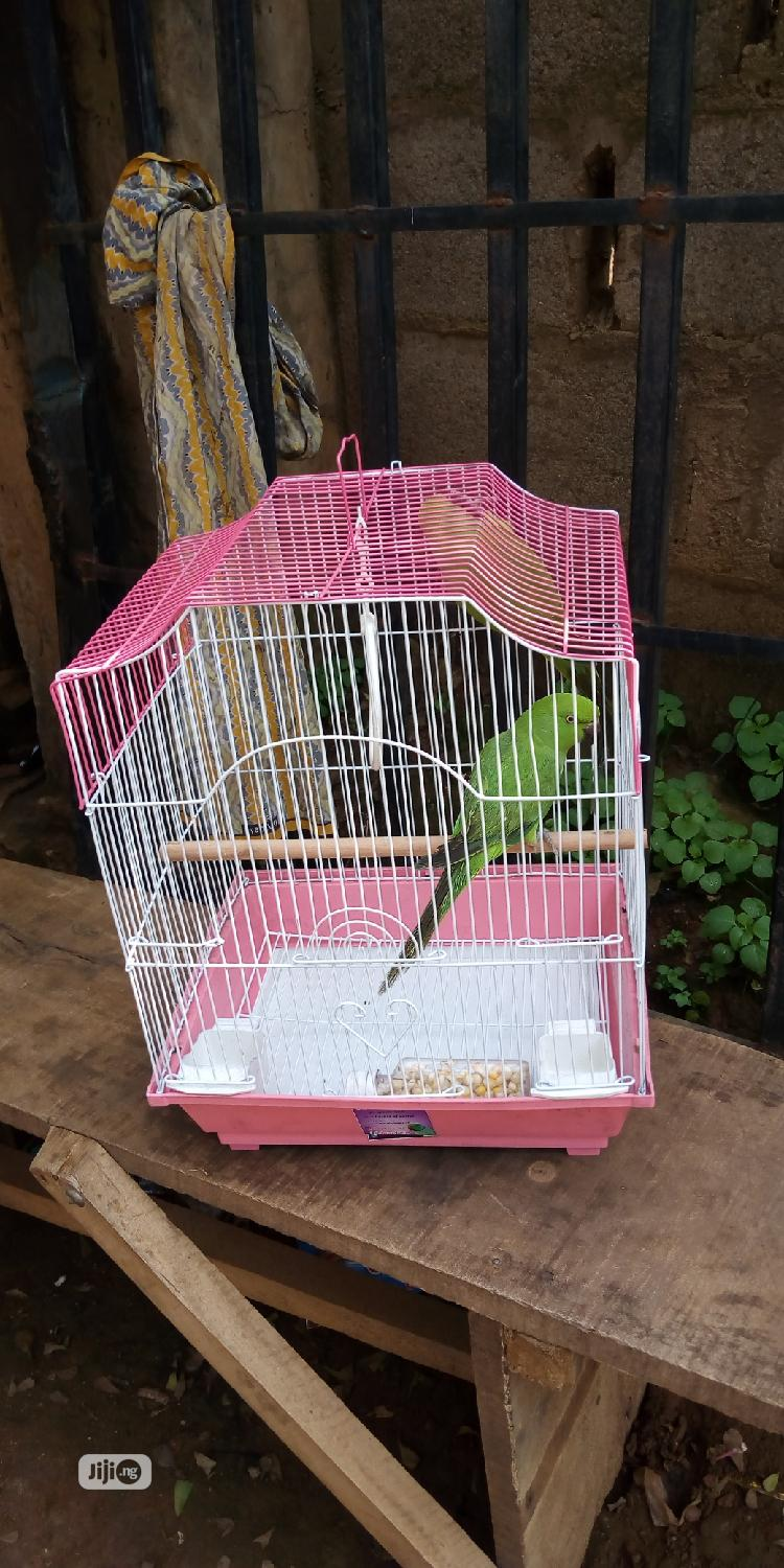 Ring Neck Parrot & Foreign Cage   Birds for sale in Alimosho, Lagos State, Nigeria