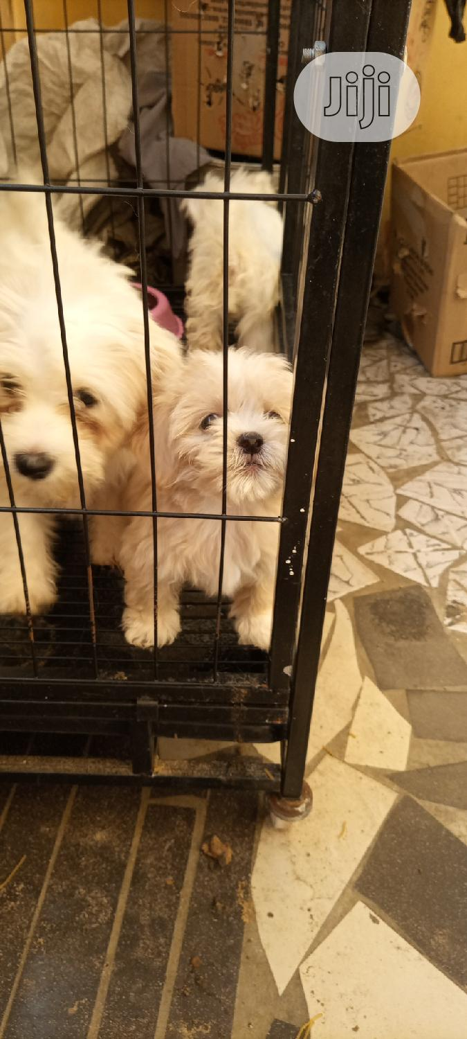 Baby Male Purebred Lhasa Apso | Dogs & Puppies for sale in Surulere, Lagos State, Nigeria