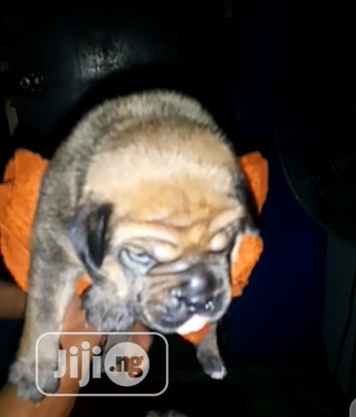 6-12 Month Male Purebred Boerboel   Dogs & Puppies for sale in Ibadan, Oyo State, Nigeria