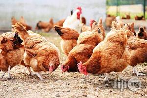 Life Chicken And Turkey   Livestock & Poultry for sale in Lagos State, Kosofe