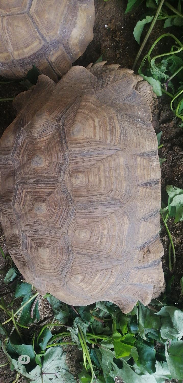 Archive: Tortoise Giant