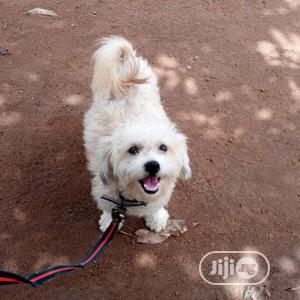 1+ Year Female Purebred Lhasa Apso | Dogs & Puppies for sale in Abuja (FCT) State, Wuse 2