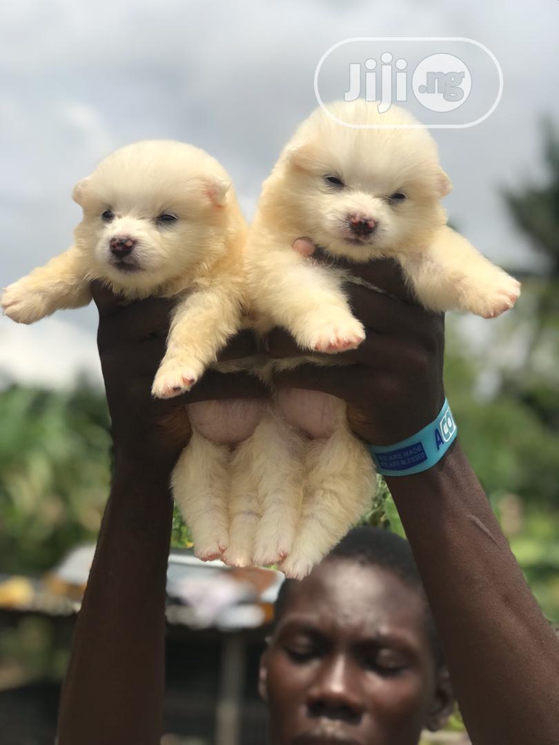 0-1 Month Female Purebred American Eskimo | Dogs & Puppies for sale in Ojo, Lagos State, Nigeria