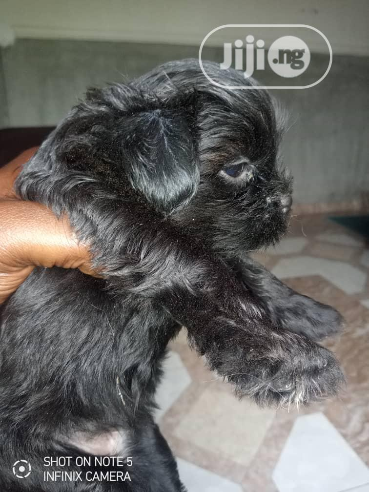 1-3 Month Male Purebred Lhasa Apso | Dogs & Puppies for sale in Abeokuta South, Ogun State, Nigeria